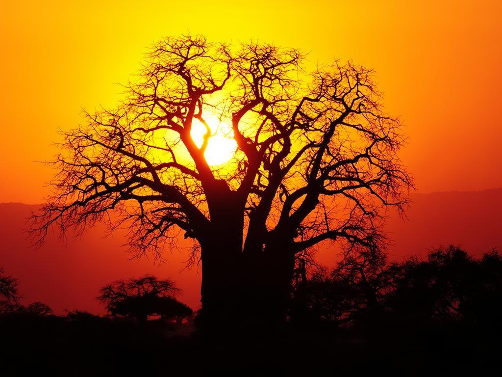 idesign nhung cay baobab dang chet 05