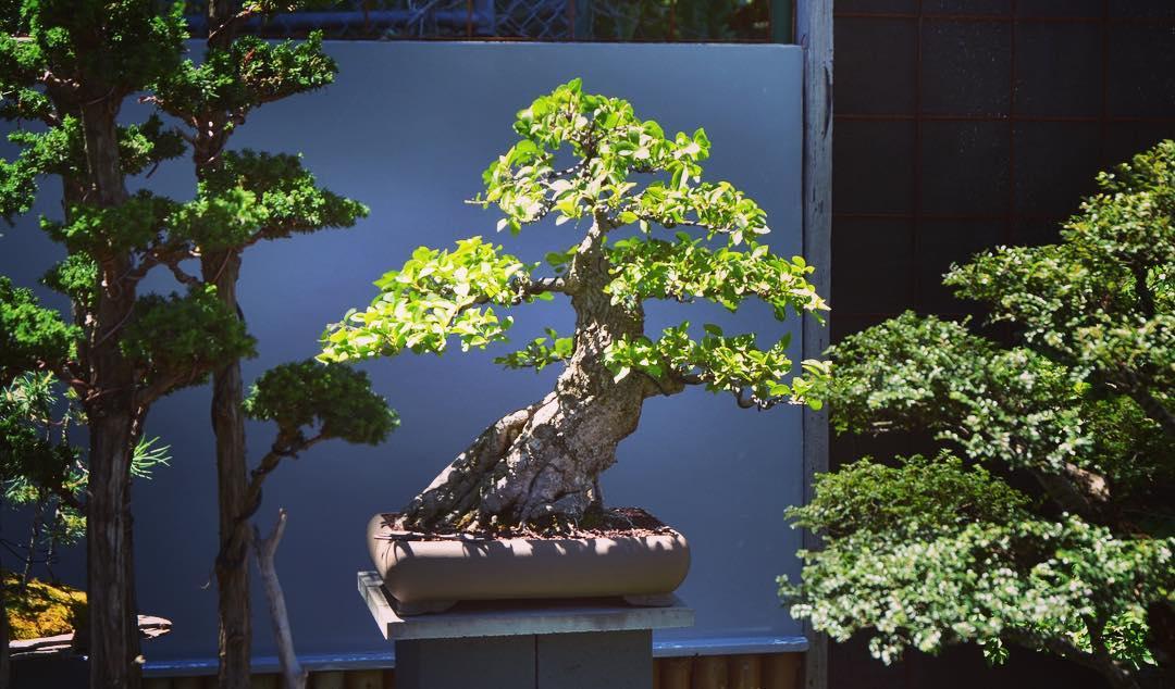 idesign nhom nghe si danh ca doi de trong cay bonsai 6