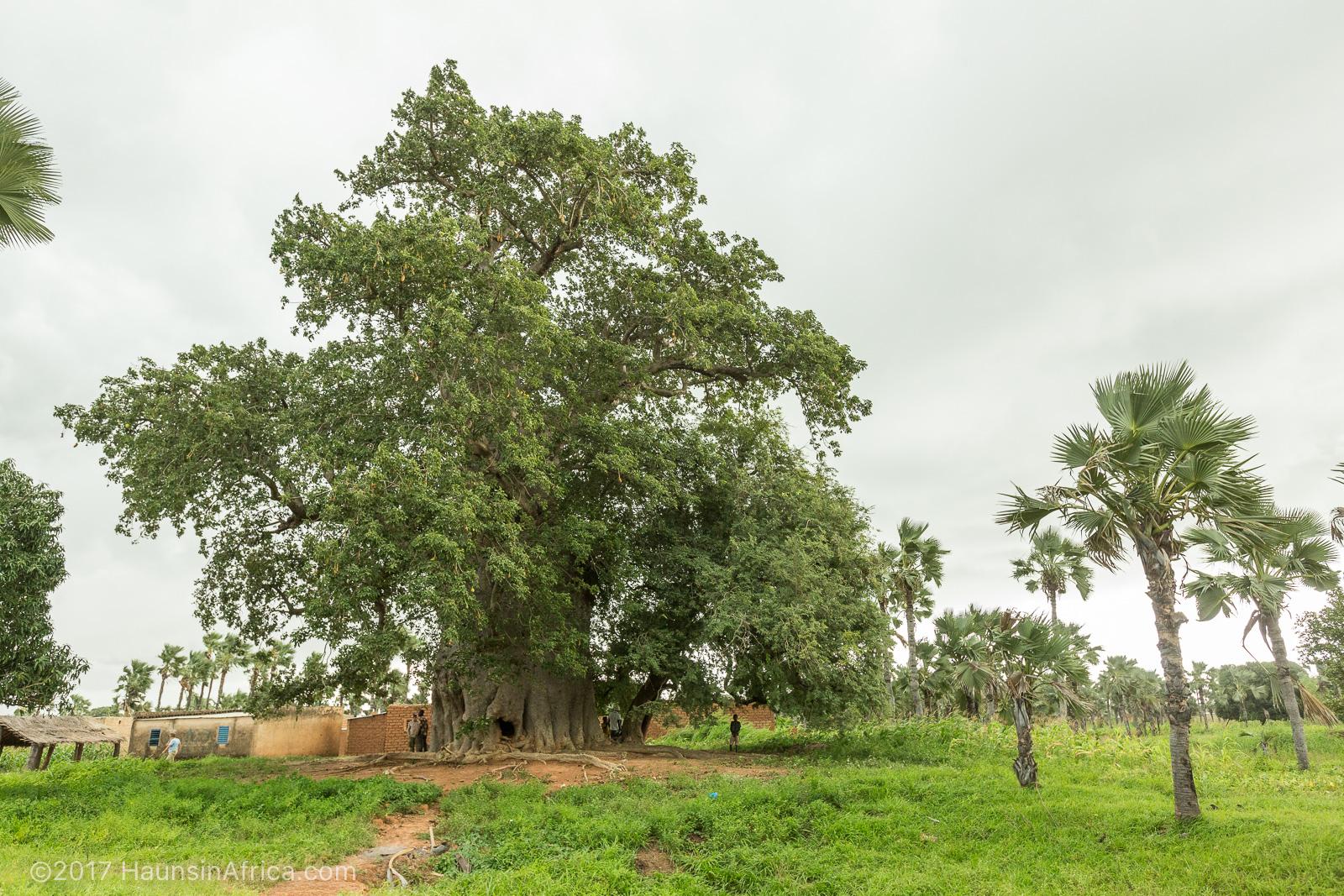 idesign nhung cay baobab dang chet 03