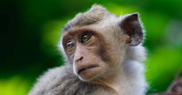 volkswagen monkey lead
