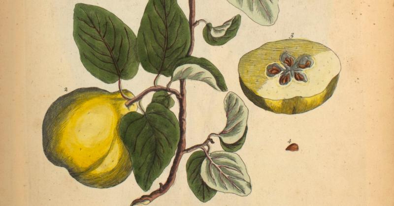 Typo và lá húng tây: những bản in thảo mộc đầu tiên