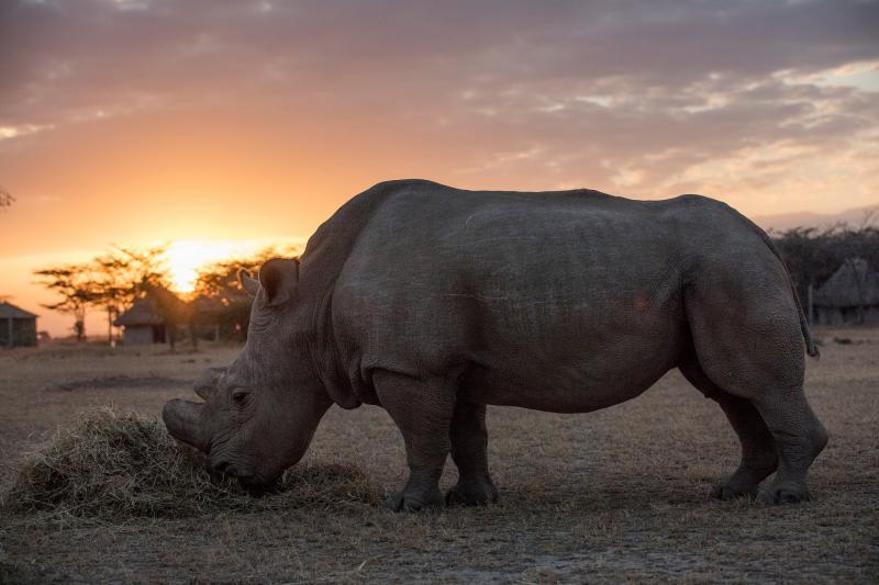 Niềm hi vọng mới cho loài tê giác trắng phương Bắc sắp tuyệt chủng