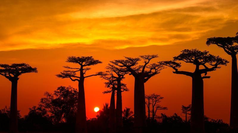 Những cây baobab già nhất đang chết đi trong sự bất lực của con người