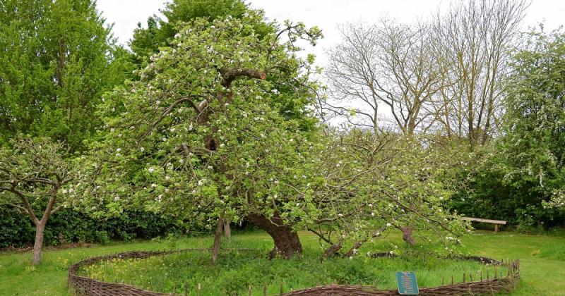 Cây táo của Newton và hành trình đi khắp thế giới