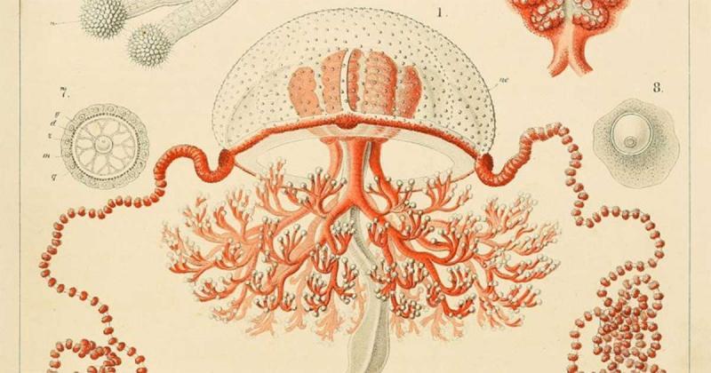 Biến cố đau thương của Ernst Haeckel và niềm cảm hứng với loài sứa vĩ đại
